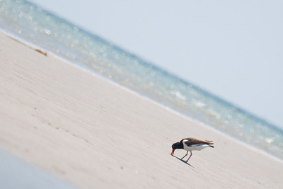 American Oystercatcher at Monomoy NWR on 20100618