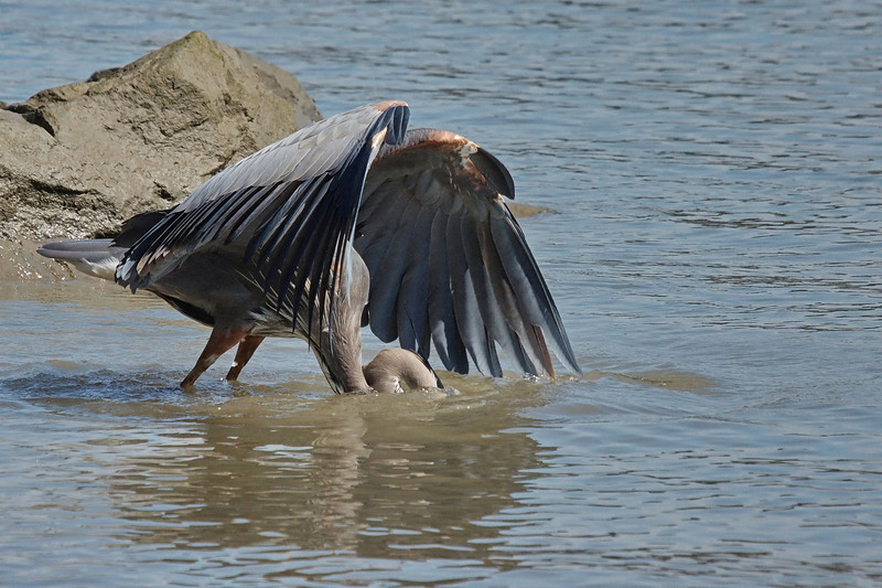 """Sequence 4/9 -  """"Uh Oh!""""<br /> Great Blue Heron on Fraser River @ Annacis Island"""