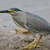 "Blue heron, Sohar 'Oman"""