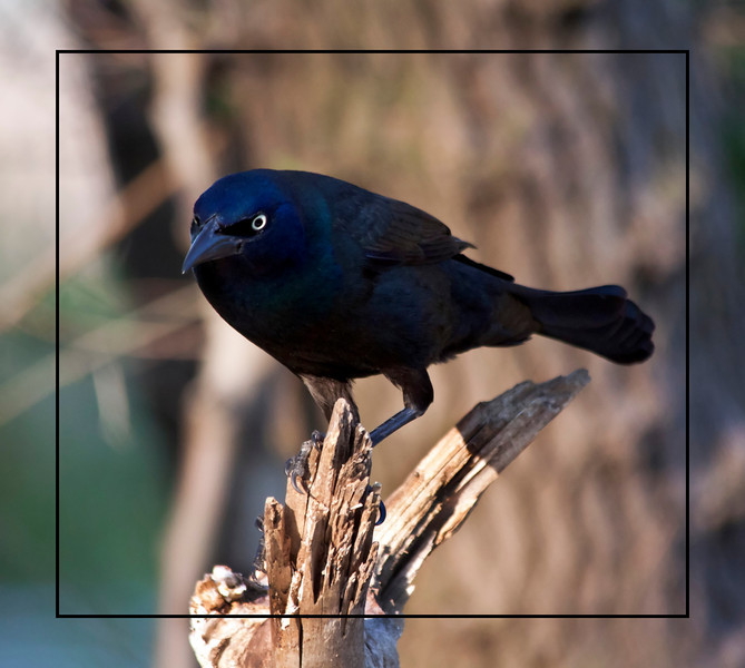 Grackle. These are really ominous-looking birds...
