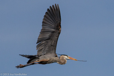16/52-3: Great Blue Heron