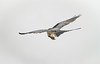 Swallow-tailed Kite eating while flying
