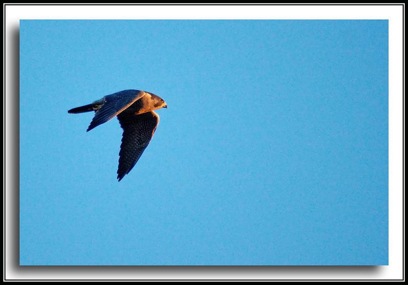 Peregrine Falcon at Boundary Bay, quite far off.