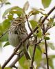 Savannah Sparrow, Delta, BC