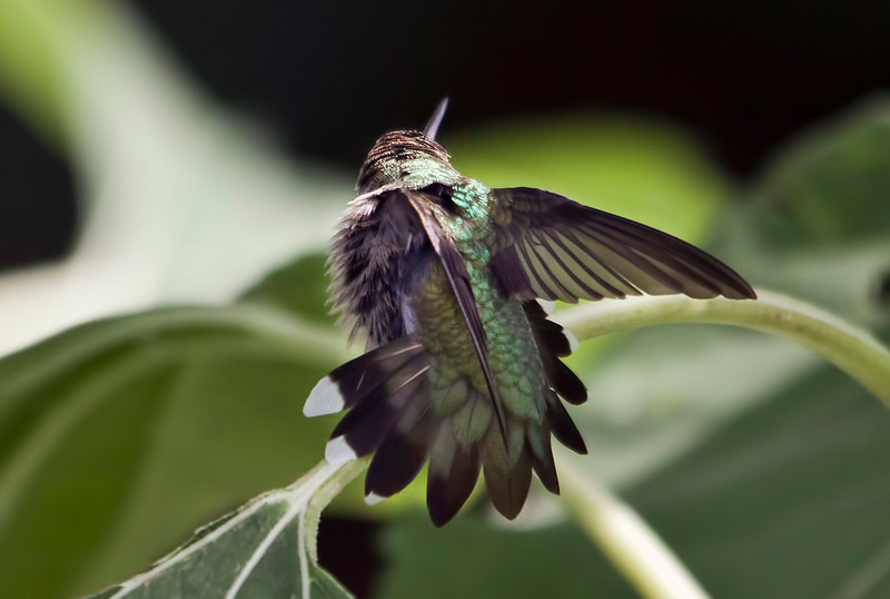 A hummingbird taking a minute to air out his feathers.