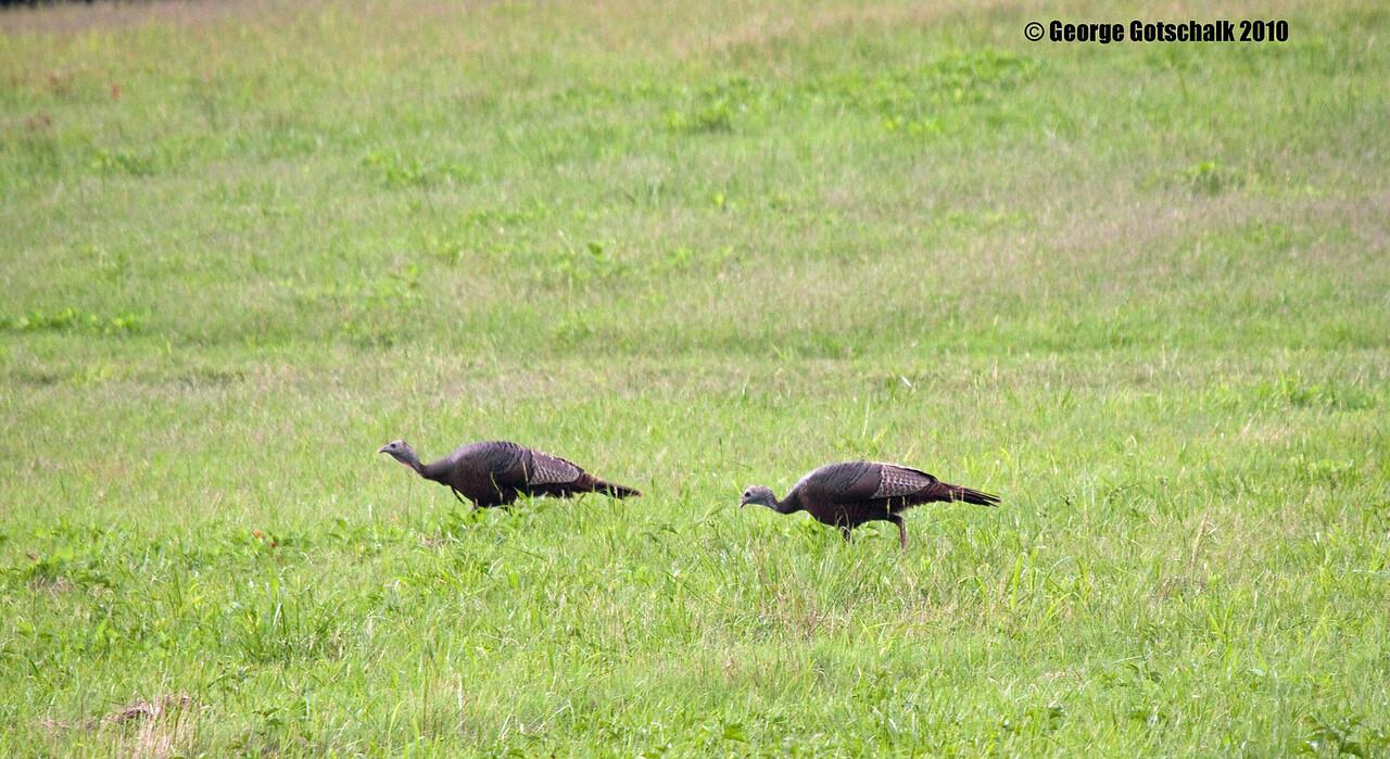 Wild Turkeys at Crater Battlefield Petersburg