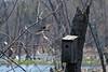 Tree Swallow (Tachycineta bicolor) - adult female.