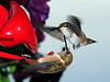 I believe this is a mama hummer and child.<br /> <br /> 2008-06-17
