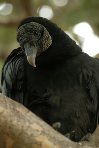 black vulture, Indian Shores, FL