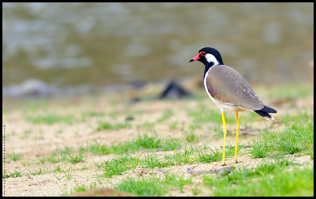 Red wattled lapwing....
