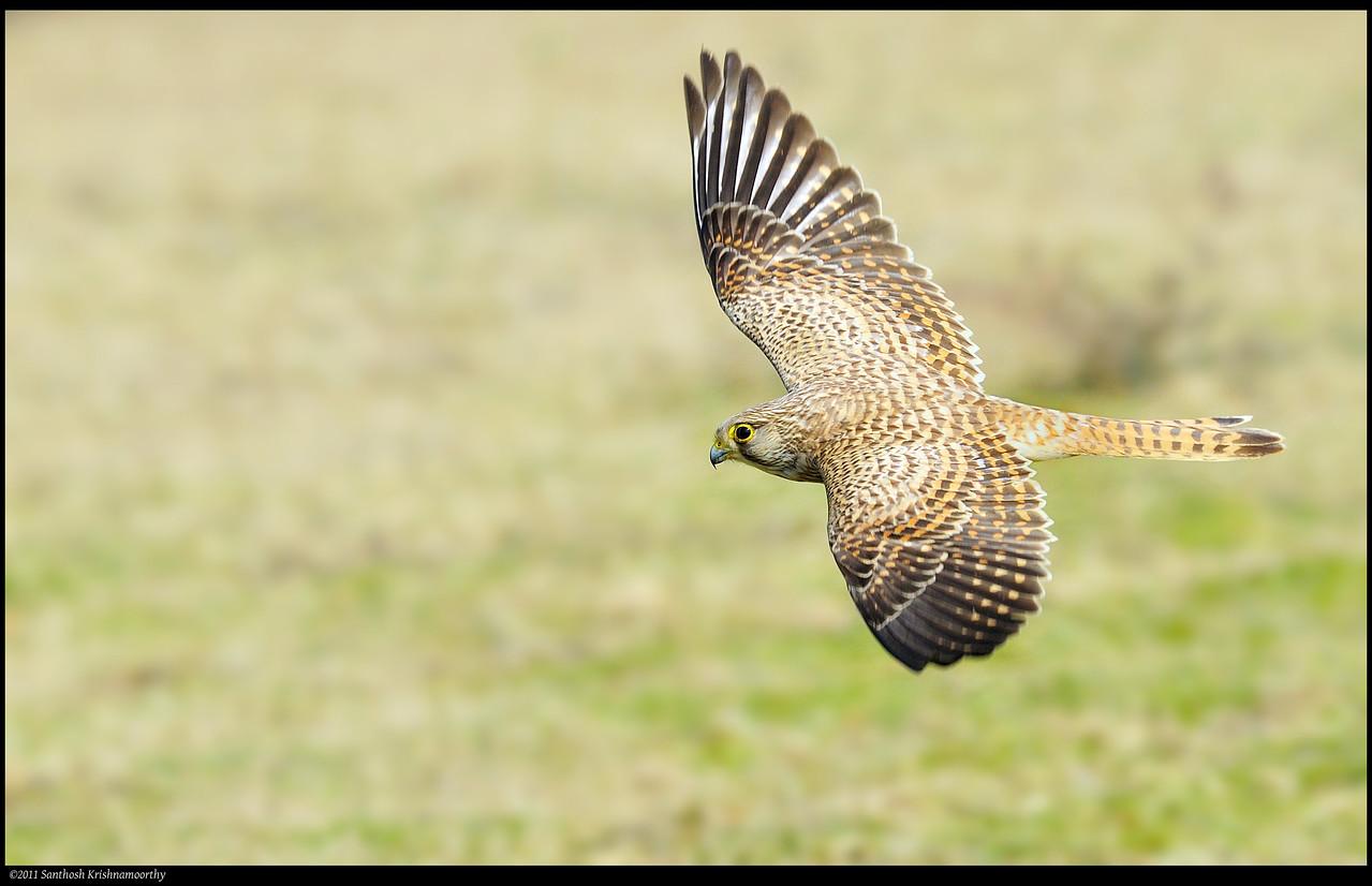 Common Kestrel (female)....in flight..... I love this bird..... :)
