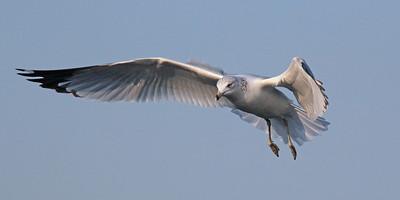 Seagull at Long Beach,NY