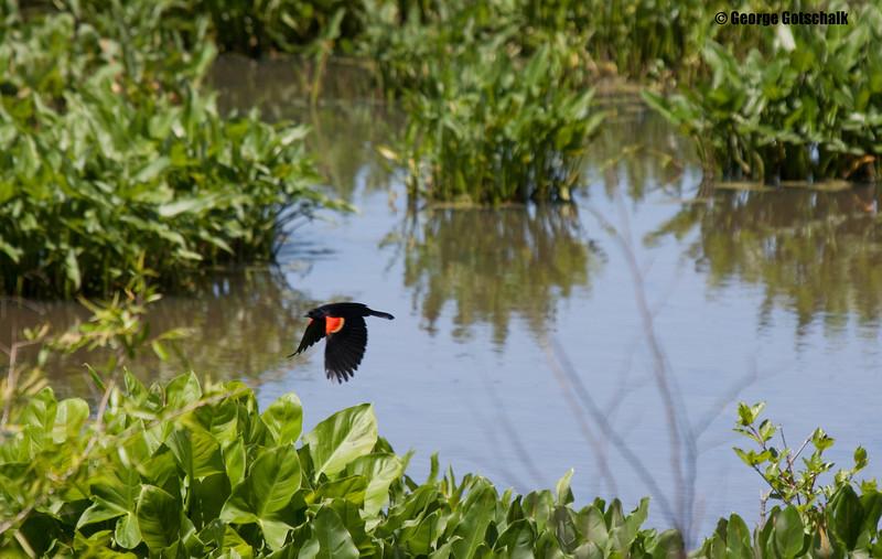 Redwing blackbird in flight