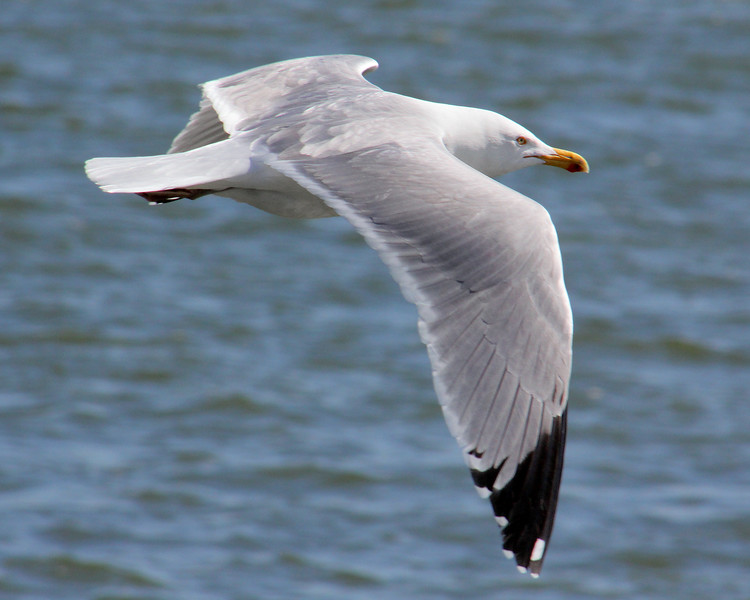 Seagull at Captree State Park