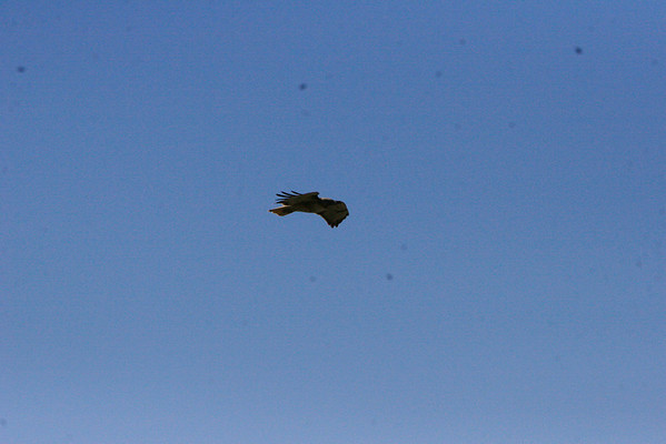 This redtail played in the wind currents along the bluffs.
