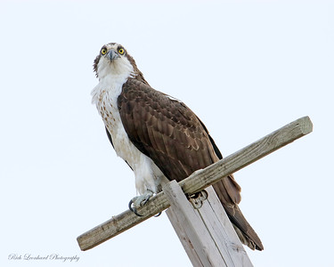 Osprey posing for me at Sunken Meadow State Park,NY.