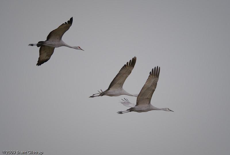 Lesser Sandhill Cranes<br /> <br /> Merced National Wildlife Refuge<br /> 04 February 2009