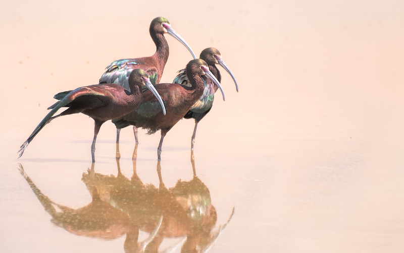 white-faced ibis in mating plumage