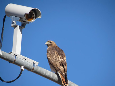 P00150_IMG_3918_Hawk_on_camera_Pole