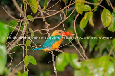 Stork-billed kingfisher with bright orange bill or beak.