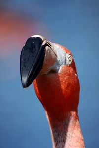 A flamingo eyeing the camera.
