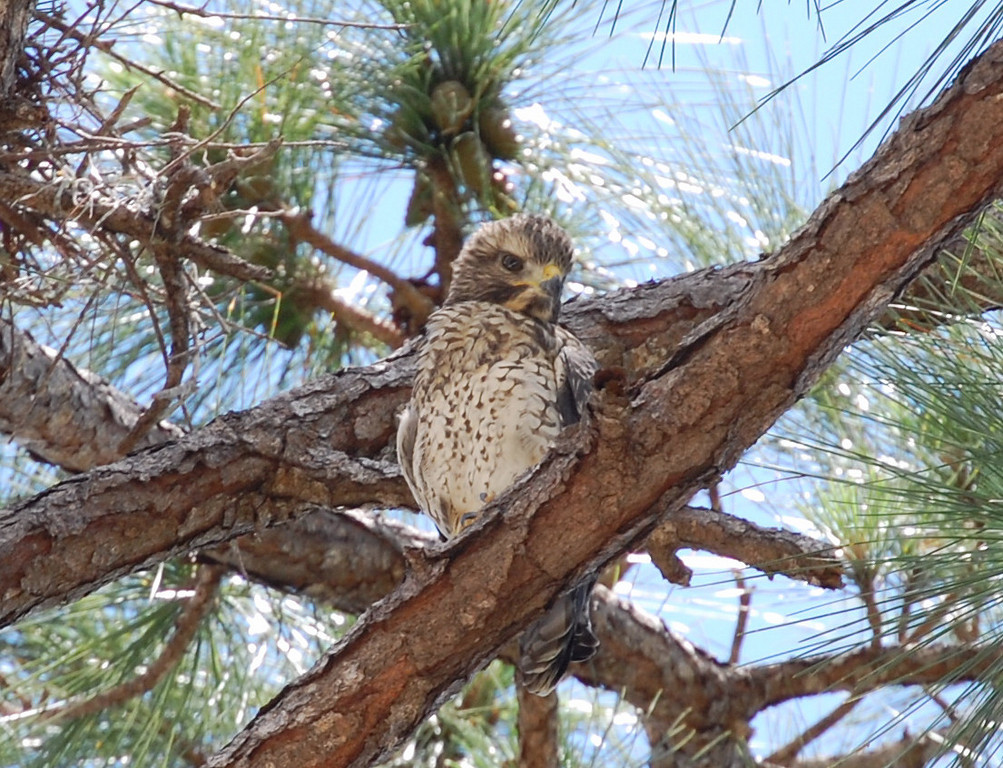 A baby hawk just below the main nest.<br /> Riverbend Park, Jupiter FL