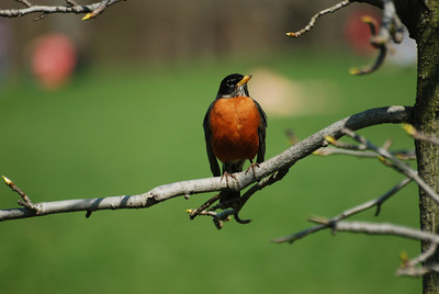 American robin.  Brooklyn, NY