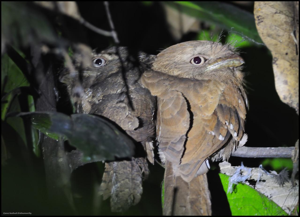Sri Lanka / Ceylon Frogmouth pair.....