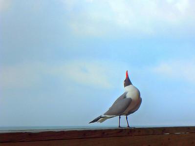 Galveston Seagull - Photo by W Davis