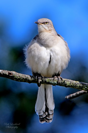 Mocking Bird in East Meadow, NY.