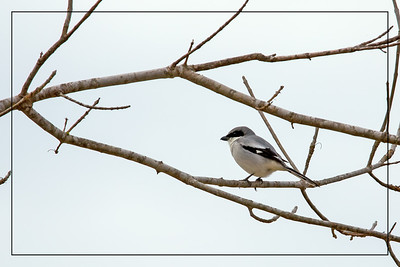 Loggerhead Shrike - This masked black, white, and gray predator hunts from utility poles, fence posts and other conspicuous perches, preying on insects, birds, lizards, and small mammals.
