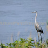 Great Blue Heron. The largest and most widespread heron in North America, the Great Blue Heron can be found along the ocean shore, bays, lakes, streams or the edge of ponds. Although the Great Blue Heron eats primarily fish, it is adaptable and willing to eat other animals as well. Several studies have found that voles (mice) were a very important part of the diet, making up nearly half of what was fed to nestlings in Idaho. Occasionally a heron will choke to death trying to eat a fish that is too large to swallow. Great Blue Herons congregate at fish hatcheries, creating potential problems for the fish farmers. A study found that herons ate mostly diseased fish that would have died shortly anyway.