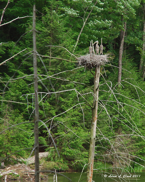 Great Blue Heron family in nest