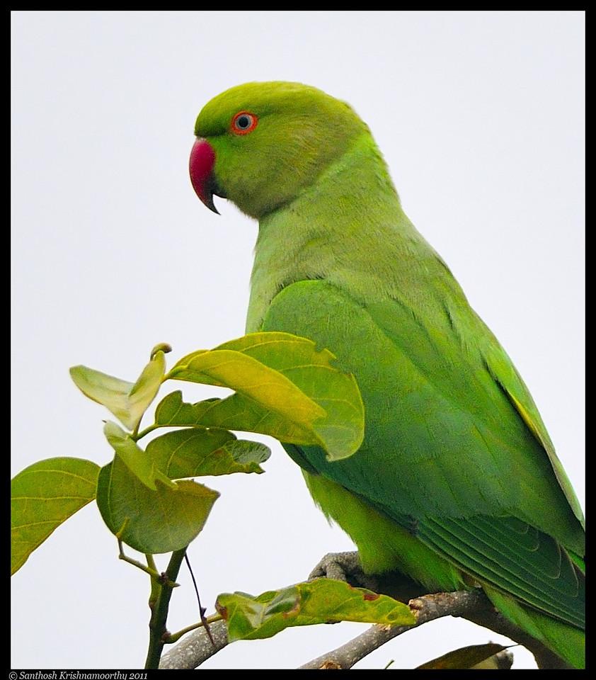 The original green....Parakeet....