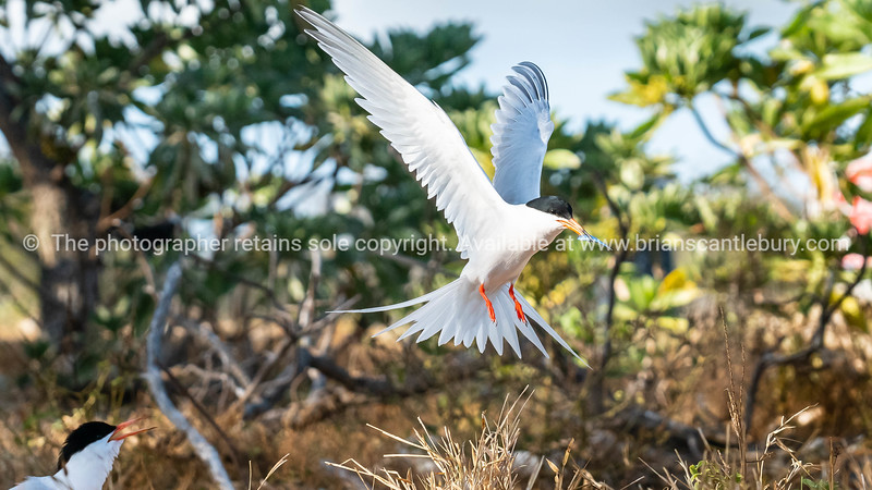 Roseate tern arrives back at nesting site with small fish