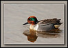 Green Winged Teal at Elgin Heritage Park trails, Surrey B.C. (w/ Sigma 50-500, Bigma)