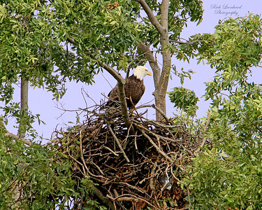 Bald Eagle standing in nest on Long Island , NY.   10-05-18