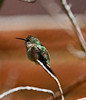 possibly a costa's humingbird