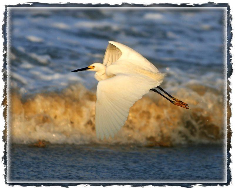 Snowy egret at sunset, New Smyrna Beach