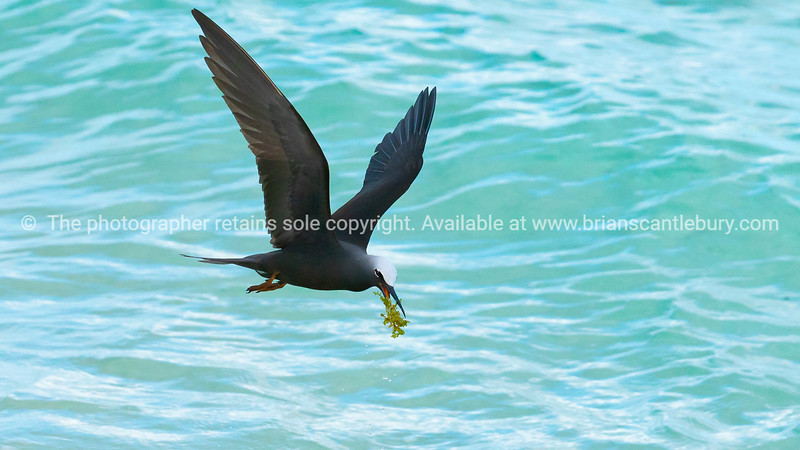 Bird carying nesting material, seaweed, over water