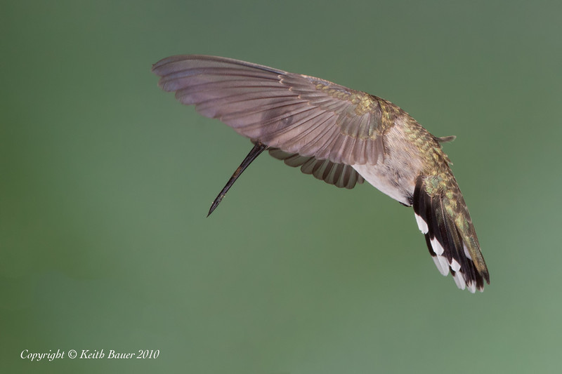 Female Black Chinned Hummingbird - Peek a Boo Pose