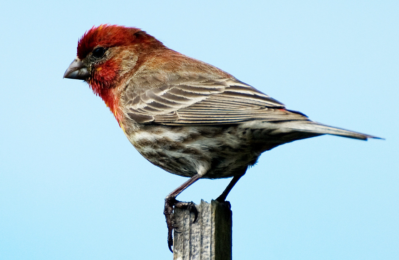 backyard birds: Purple finch taking advantage of the largesse of nyjer thistle seed.  They eat this in the wild right on our coastal land - you will see them sitting right on the spiky thistle tops teasing out the tiny seeds. No wonder they crowd our feeder for an easy meal.