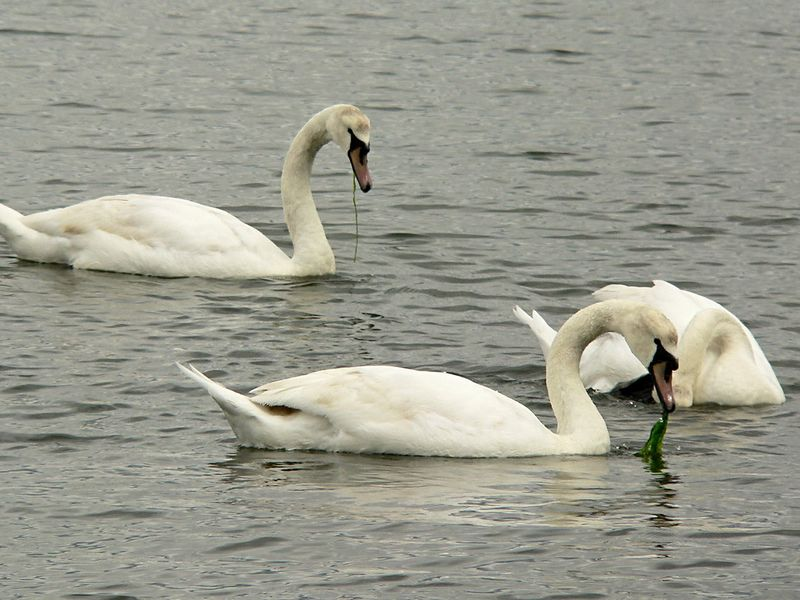 A family group (4 total) of Trumpeter Swans just off Manly Park on Vancouver Island.  Looks like they are munching on Eel Grass(?) in the salt water.
