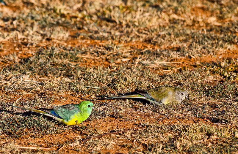 """Budgerigar Parakeet<br /> The Budgerigar Parakeet, also known as """"Budgie"""" or English Parakeet. The term Grass Parakeet (or Grasskeet) refers to a large number of small Australian parakeets native to grasslands.<br /> <br /> Captured with Canon EOS 6D+Canon 70-300mm f/4-5.6 Zoom Lens (non L) IS USM, ISO 1000, 1/2500sec, FL 300mm, F/8, processed using PS-cs5, image has been cropped"""