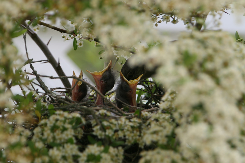Baby Mocking Birds being fed.