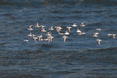 Sanderlings just off coast of Parker River NWR MA, on 20110326.