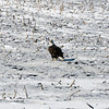 Bald Eagle - Boone County