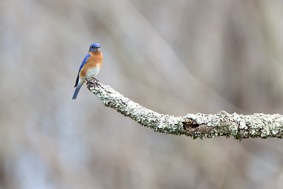 Eastern Bluebird - Male - Eastern Bluebirds typically have more than one successful brood per year. Young produced in early nests usually leave their parents in summer, but young from later nests frequently stay with their parents over the winter.