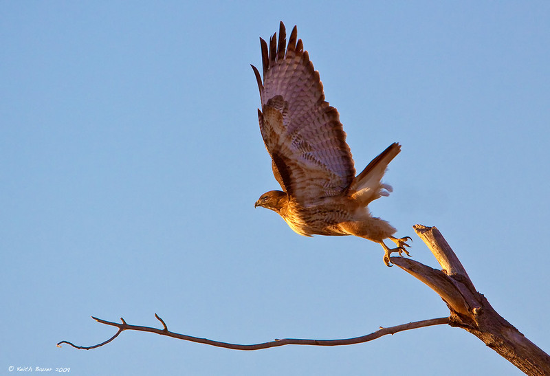 Red Tail LiftOff - Bosque
