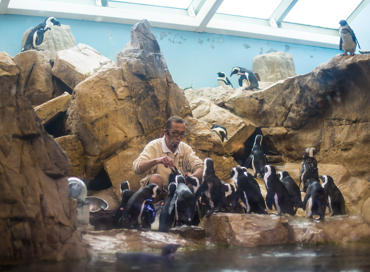 """""""Tom"""" (featured on Dirty Jobs with Mike Rowe) discusses feeding Penguins at the Audubon Aquarium of the Americas, New Orleans, LA - January 2016"""